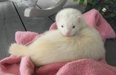 Care Bear - Making him a Pinterest star! My beautiful #silver #ferret (his silver turned to an off-white with age). Rest in peace; dook in peace. I love you. Uploaded by Jenna Johnson