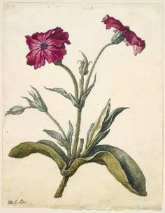 Herman Saftleven ~  Dutch (Rotterdam, Netherlands 1609 - 1685 Utrecht, Netherlands)   Mullein Pink, 1680   Drawing   Dutch ,  17th century  Watercolor, gouache and brown ink over graphite, some glazing in green areas, on cream antique laid paper (not the sort of Mullein that I'm accustomed to, but interesting anyway)