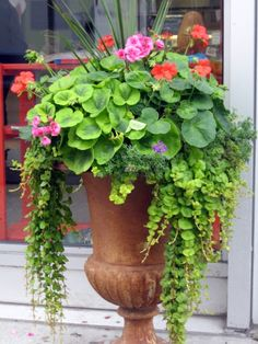 Creeping jenny, geraniums, dracena in urn