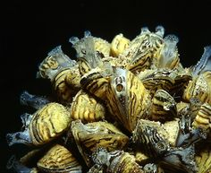 Zebra mussels can detect toxins in water and companies search the seas for ways to protect water Avon Lake, Underwater Life, Life Form, Mussels, Seas, Clams, Blue Mussel