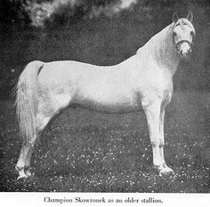 Skowronek (Ibrahim x Jaskolka) A 1909 Polish Arabian stallion that has had an amazing impact on the breed through his fine sons and daughters who were exported from the Crabbet stud around the world.  P 2x thru Pietuszok. A - many.