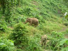 Enjoy the elephants in the semi-wild Elephants, Laos, Animals, Animais, Animales, Animaux, Animal, Elephant, Dieren