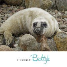 Zapraszamy do oglądania transmisji na żywo. Fokarium wspomaga odtworzenie i ochronę fok szarych w rejonie południowego Bałtyku.