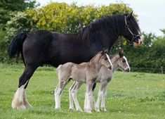 A Shire mare recently birthed twin foals in Llandysul, Ceredigion Wales. Twinning is rare in horses. It most often results in the death of one or both twins. But happily that was not the case for show horse mom Penlan Ceri Rose. It is generally recommended to terminate one foal in horses that do ultrasound positive for twins because the risk of carrying two foals to term #horses