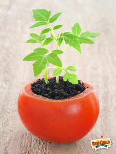 Plant seedlings in a hollowed out tomato. You could plant these directly in the ground and the decomposing tomato would provide fertilizer.