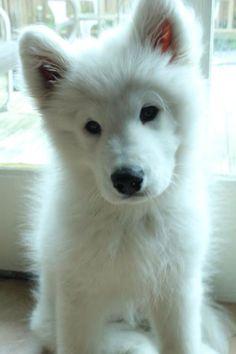 White Fox or Dog? . pic.twitter.com/TFp9ILhS38