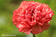 Carnation January birth month flower, pale red for colour meaning
