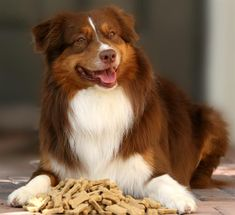 Red Tri-Color Australian Shepherd -- Reds, Blue Merles, and Red Merles are my favorite colors in the AS breed.