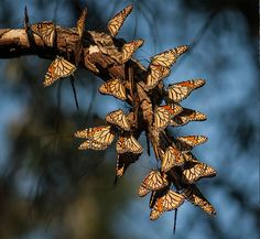 The monarchs that winter on trees in Mexico have already traveled long distances from the East Coast, and particularly the Midwest. Scientists now know that the fir trees store solar heat in their trunks, which helps warm the butterflies.