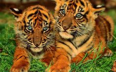 tigres - Buscar con Google Lion Images, Animals Images, Animal Pictures, Sun Tzu, Cute Little Animals, Baby Animals, Wild Animals, Panther Leopard, Lion Tattoo