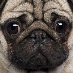 pug close-up                                                                                                                                                      More