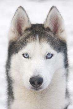 Siberian Husky ♡ snapchat:ivvvoo