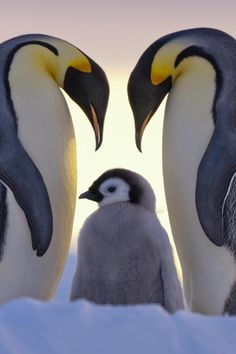 Parents Love - Emperor penguins and chick  (by Anneliese & Claus Possberg on 500px)  Note:  actually dense feather that look like fur!