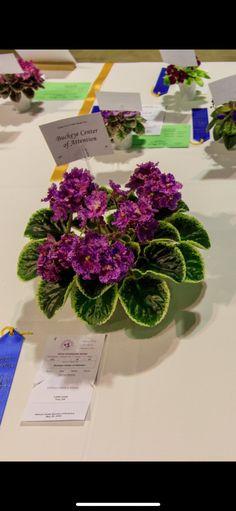 Shirl/'s Purple Passion 2 Feuilles//2 Leaves African Violet Saintpaulia