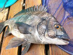 今日はゲキシブの中なんとか47cmの黒鯛ゲット. 家に帰ってきて綺麗に黒鯛をお掃除してあげて34日熟成させまーす #とりあえず疲れすぎて飲み行く気力が #魚くさいけど誘ってくれれば #kitchentaka#釣り#フィッシング#森戸#葉山#ボートフィッシング#黒鯛#クロダイ#休日#夏#趣味#タイラバ#オニカサゴ#海#逗子#釣りガール#お家ご飯#料理#男子ごはん#美味い#グルメ#クッキングラム#デリスタグラマー#おうちごはん#japan#fishing#instagood Fish, Meat, Pisces
