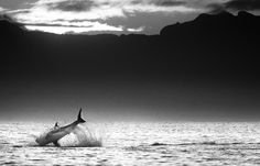 Great white shark by David Yarrow Photography More Animals here.