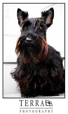 Scottie Dog Portrait 06/2008 | Flickr - Photo Sharing!