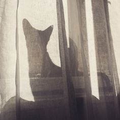 Frida, oriental shorthair cat