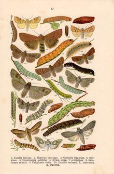1920 Colorful Moths Caterpillars Noctuid Moth por Craftissimo