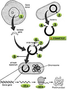 Try this Diagram Quiz on Steps in recombinant DNA or rDNA technology | Biology Multiple Choice Quizzes