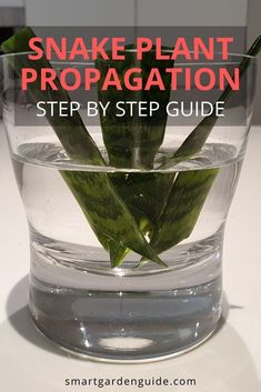 How to propagate snake plants in water or soil and by rhizome or division. There are a few important things to know when growing snake plant cuttings . Snake Plant Propagation, Plant Cuttings, Sansevieria Plant, Pothos Plant Care, Air Plants Care, Succulents Garden, Garden Plants, Planting Flowers, How To Propagate Succulents