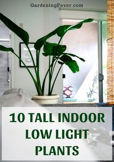 Flower Gardening For Beginners 10 Tall Indoor Low Light Plants. Here are some of the best tall indoor low light plants that will thrive through low lit areas without an issue. Find out which are the best tall indoor low light plants over the Tall Indoor Plants, Indoor Plants Low Light, Large Plants, Outdoor Plants, Best Indoor Trees, Indoor Planters, Low Light Houseplants, Indoor House Plants, Indoor Plant Lights