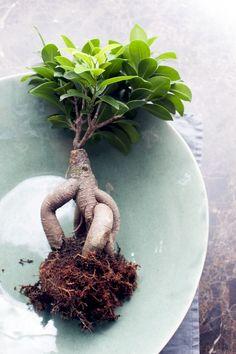 Un bonsaï artistique avec des feuilles brillantes, qui aime les sorties Ficus Microcarpa, Ficus Ginseng, Bonsai Ficus, Plant Hanger, Decor, Gardens, Vegetable Garden, Plants, Green Plants