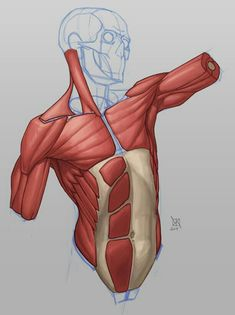 Exceptional Drawing The Human Figure Ideas. Staggering Drawing The Human Figure Ideas. Human Anatomy Drawing, Human Figure Drawing, Anatomy Study, Anatomy Reference, Human Reference, Art Reference, Muscle Anatomy, Body Anatomy, Draw Character