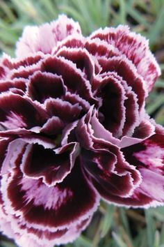 Dianthus 'Old Velvet'- PDIOL photo