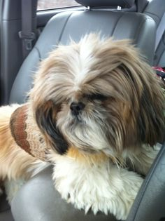 Myko ( Shihtzu) on his way to dog boutique     Follow us on FB & Twitter   @Queen of Paws Boutique & Spa