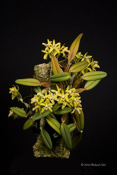 Shade Garden Flowers And Decor Ideas Cattleya Luteola 'Highjack' Cceaos By Miniature Orchids, Miniature Plants, Bonsai, Orchid Flower Arrangements, Orchid Flowers, Mini Orquideas, Arte Indie, Orchids Garden, Roses Garden