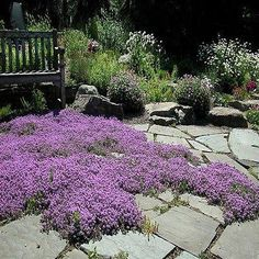Creeping Thyme (Thymus Serpyllum Magic Carpet) - If you have a stepping stone path or a flagstone patio, growing Magic Carpet seeds is a great way to add lovely, low-growing thyme to the walkway and p