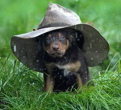 Kelpie pup in the rain Australian Dog Breeds, Australian Animals, Australian Cattle Dog, Australian Sheds, Australian Farm, Pet Dogs, Dogs And Puppies, Cute Puppies, Doggies