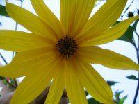 Aardpeer aka Topinamboer. - Eind maart poten, bloei in september, oogst vanaf eind oktober. http://www.moestuintips.nl/groenten/bol_knol_gewassen/topinamboer/topinamboer.php