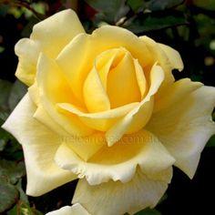 'Little Ray of Sunshine' Rose