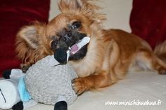 Le Chihuahua, Chihuahuas, Doggies, Cute Animals, Plush, Cutest Pets, Toy, Cats, Little Puppies