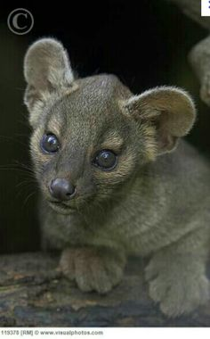 The fossa is a carnivorous mammal of the mongoose family native to Madagascar.