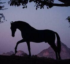 Marwari stallion, Naagraj. photo: Ekaterina Druz  .