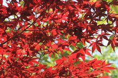 東京でも見つけた小さな秋、紅葉が美しい散歩道。Toukyou demo mitsuketa chiisana aki, kouyou ga utsukushii sanpo-michi. Di Tokyo pun kutemukan juga musim gugur yang kecil, jalan setapak dengan dedaunan merah yang cantik.