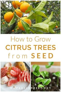 An easy method for growing citrus seeds into houseplants including orange lemon grapefruit kumquat and more See how to be sure your seeds will germinate citrusplants seedstarting empressofdirt Kumquat Tree, Lemon Seeds, Fruit Seeds, Citrus Trees, Citrus Fruits, Growing Fruit Trees, Growing Seeds, Gardens, Flower Beds