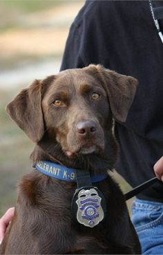 Becki is a Chocolate Labrador serving the Riverside (Calif. Becki is an accelerant Police Dogs - Photo Gallery - POLICE Magazine .she is gorgeous ! Military Working Dogs, Military Dogs, Police Dogs, I Love Dogs, Cute Dogs, War Dogs, Service Dogs, Dog Photos, Mans Best Friend