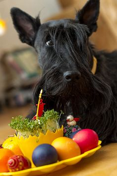 Tauri - Easter Scottie  (© O'Colan / Flickr)