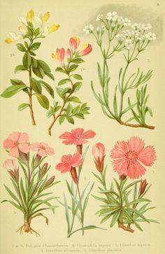 Alpen-Flora für Touristen und Pflanzenfreunde Stuttgart :Verlag für Naturkunde Sprösser & Nägele,1904. biodiversitylibrary.org/page/10383993