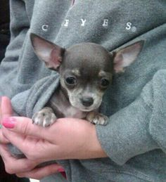 My blue teacup chihuahua...Tipsy!