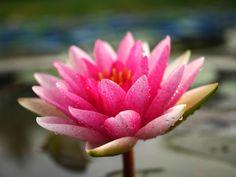 Nymphaea 'James Brydon 2' Hardy Waterlilies  |  บัวฝรั่ง 'เจมส์บลายดอน 2'