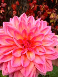 gorgeous colours of Dahlia