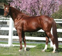 Chestnut American Warmblood Horse