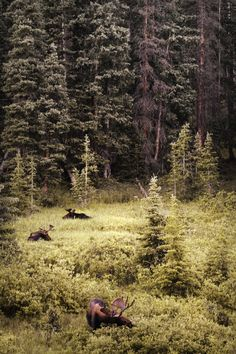 moose browsing on forest's edge -- for scale, keep in mind that adult moose can be 7 feet tall at the shoulder!