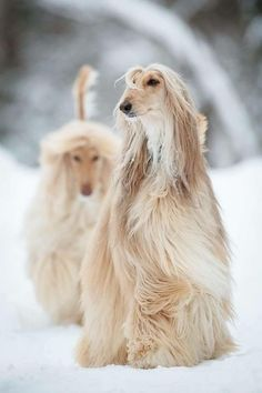 These Afghan Hounds are looking so elegant as they explore the snow
