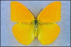 Phoebis Agarithe(Large Orange Sulfur) -Male -Arizona, USA -(2 in wingspan)
